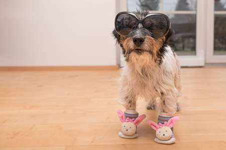 Little crazy easter dog wears black sunglasses. Cool rough-haired Jack Russell Terrier hound Standard-Bild - 166616308