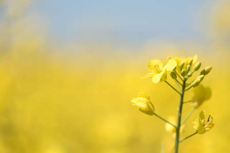 Flowering plants. Plant in spring against a blue background. Many flowers are yellow Standard-Bild - 166751701