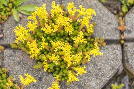 Tiny yellow blooming stone crop. Latin name Sedum Acre Standard-Bild - 166615812