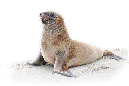 Wild sea lion on beach