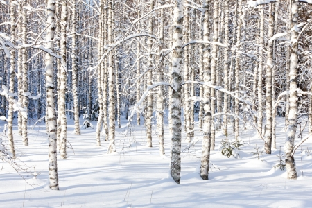 wintry: Snowy birch trunks and branches in a wintry forest on sunny day
