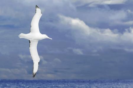 Albatross flying over dark ocean 版權商用圖片