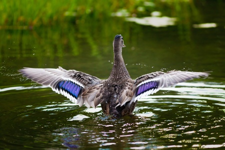wingspread: Female mallard spreading its wings and splashing water