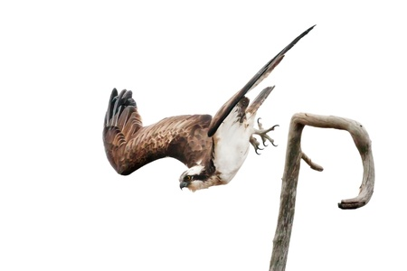 subspecies: Osprey spreading its wings while diving from a branch Stock Photo