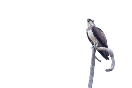 subspecies: Osprey sitting on a branch against white background
