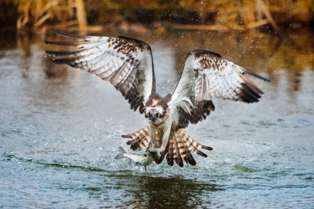 wingspread: Osprey catching a fish Stock Photo