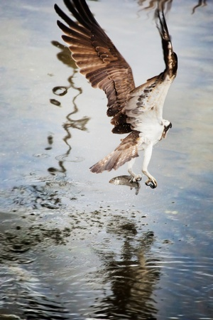 wingspread: Osprey from behind after catching a fish  Stock Photo