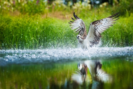 wingspread: Oprey diving into a lake with spreaded wings to catach a fish