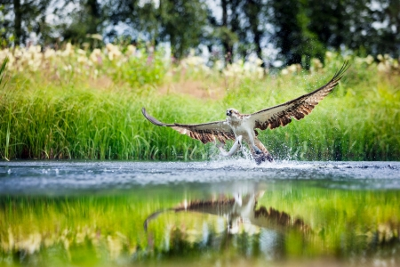 Osprey rising from a lake after catching a fish, with wings spread wide