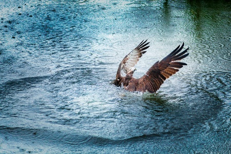 wingspread: Osprey rising from dark water with spreaded wings