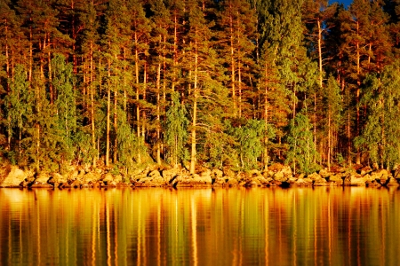 Reflection of pines in water at golden sunset photo