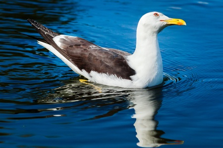 gulls: Herring gull swimming in bright blue water and tilting its head Stock Photo