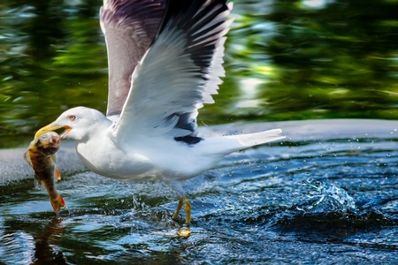 spreaded: Herring gull catching a fish