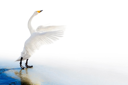 Standing whooper swan on ice edge with spreaded wings