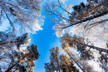 Frosty canopy of trees against bright blue sky