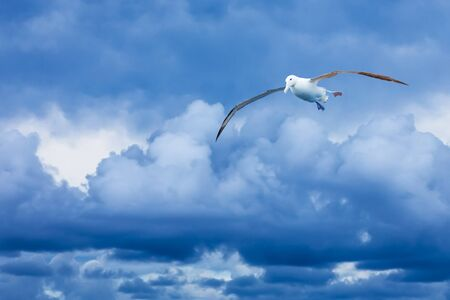 wingspread: Royal albatross flying against dramatic blue clouds in New Zealand