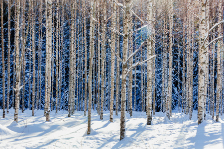 Young birch forest in winter ini sunshine photo