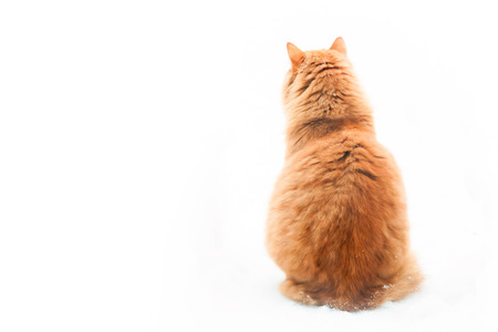back light: Large orange tabby cat sitting on white background