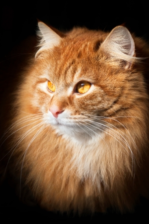 orange cat: Portrait of an orange tabby cat, isolated on black background