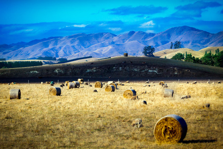 lambing: Sheep and hay bales on a meadow in New Zealand with mountains in background