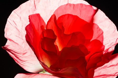 flower close up: Close-up of a bright red poppy on black background
