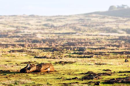 rano raraku: Fallen moai on a field in Easter Island on a sunny day