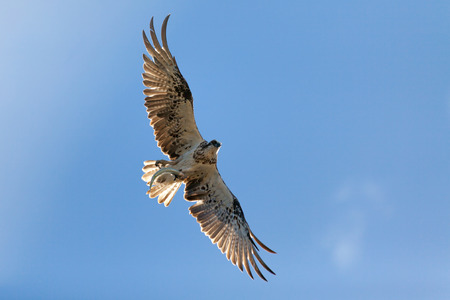 curved leg: Osprey flying with a fish in its talons