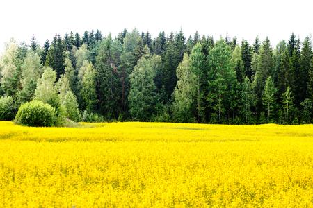 biofuel: Sunny yellow rape seed field in Finland Stock Photo