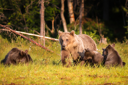 ursus: Brown bear with three cubs in green forest in Finland