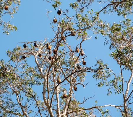 Bats in an eucalyptus tree in Centennial Park in Sydney