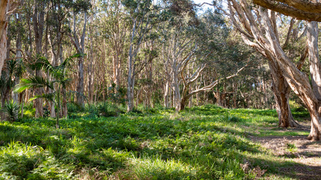 Eucalyptus trees and green undergrowth in Centennial Park in Sydney Stock Photo