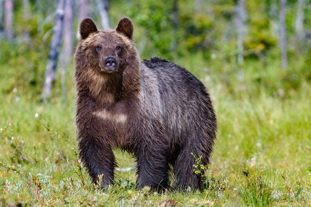 Big brown bear in summer forest