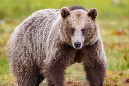 Big brown bear looking towards the viewer 版權商用圖片