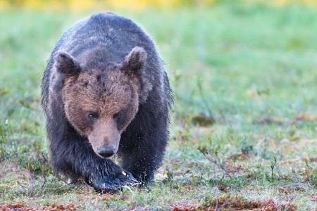 Big male brown bear walking in swamp