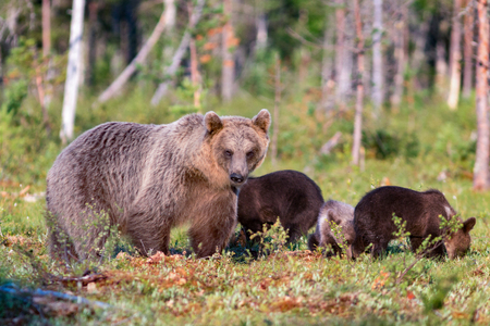 Brown bear and three cubs in summer forest