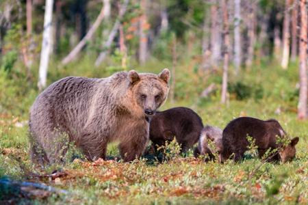 Orso bruno e tre cuccioli nella foresta estiva