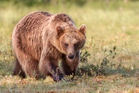 Brown bear in sunshine in summer forest