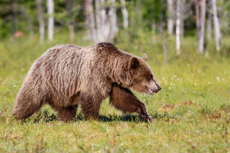 Brown bear walking in summer forest 版權商用圖片 - 121846368