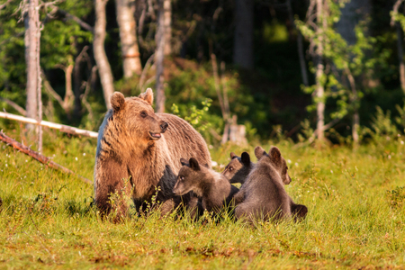 Brown bear with three cubs in forest in summer