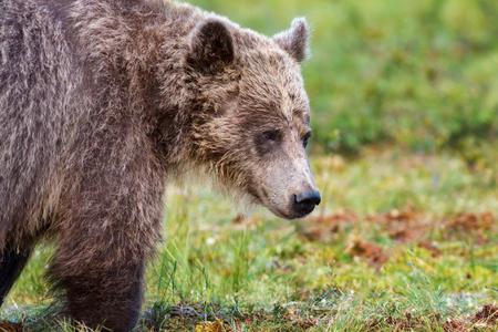 Closeup of the face of a brown bear 版權商用圖片