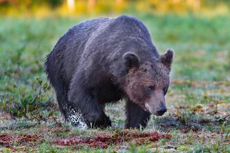 Dark male brown bear walking in wet swamp