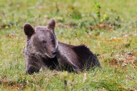 Brown bear cub laying in grass 版權商用圖片