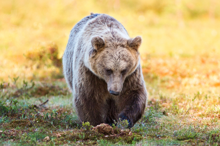Brown bear in forest with orange and yellow background