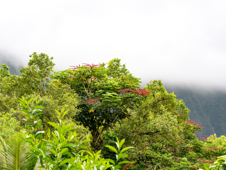 Lush green trees with red flowers and foggy mountains in the background