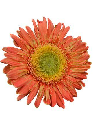 gerbera daisy: Studio shot of an isolated orange gerbera daisy against a white background