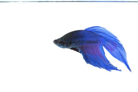 blue fish: Blue siamese fight fish isolate on white background.