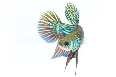 capture the moment: Siamese fighting fish isolate on white background. Stock Photo