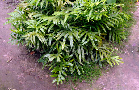 Kangroo farn is a species of fern within the family Polypodiaceae. This species occurs widely in New Zealand. Kangaroo fern is a very adaptable plant. It is equally at ease in the home.