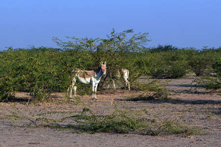 The Wild Ass Sanctuary at Little Run of Kutch is the only home to wild in India. There are around 3000 wild asses in the sanctuary and can be best seen in and around October and November. ...