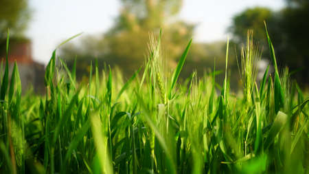 Fluorescent triticale of Wheat or Rye in the field. Evergreen blooming fibre on the top of flower. Crop blooming in winter season.